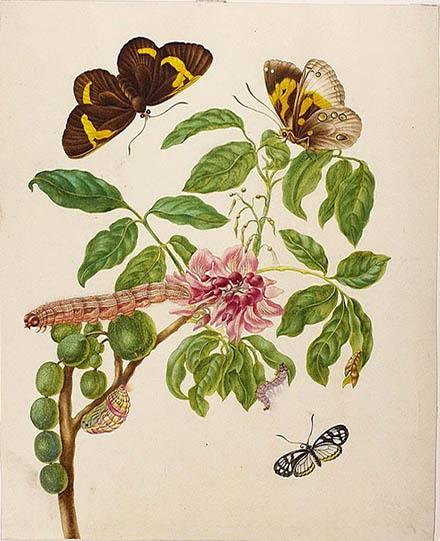 Мария Сибилла Мериан (MARIA SIBYLLA MERIAN): Muellera frutescens with Brush-Footed and Clearwing Butterflies 1702–03