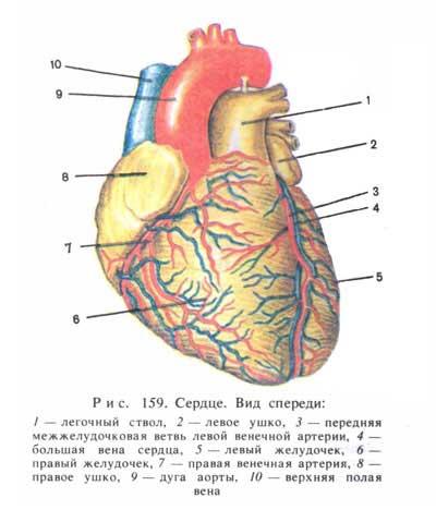Сердце. Вид спереди; в [21.76]