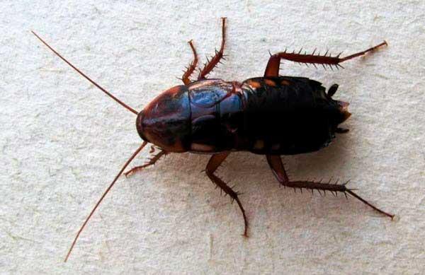 Чёрный таракан во всей красе